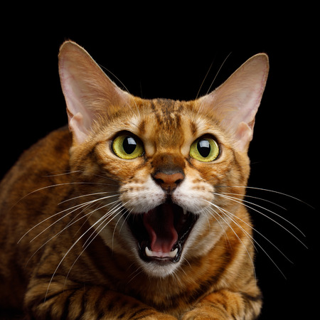 Agressive Bengal Cat with mad eyes opened mouth hiss on isolated on Black Background, Front view