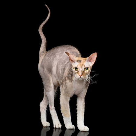 Curious Sphynx Catt Standing with curve tail Isolated on Black Background, Front view