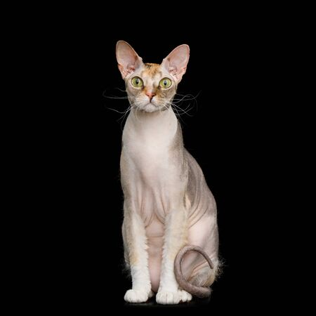 Curious Sphynx Cat Sitting with Yellow eyes Isolated on Black Background, Front view