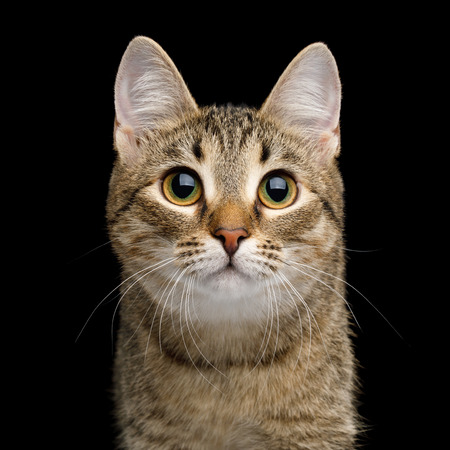 Portrait of Curious face Domestic Cat, Isolated Black Background, Front view Banco de Imagens - 92909027