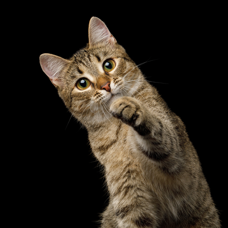 Portrait of Curious face Domestic Cat, Playful raising paw choose you, on isolated Black Background, front view Stock Photo