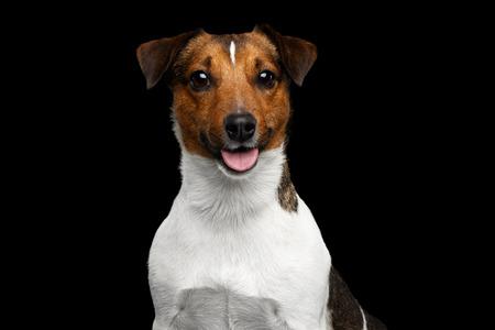 Portret van glimlachende Jack Russel Terrier Dog op geïsoleerde zwarte achtergrond