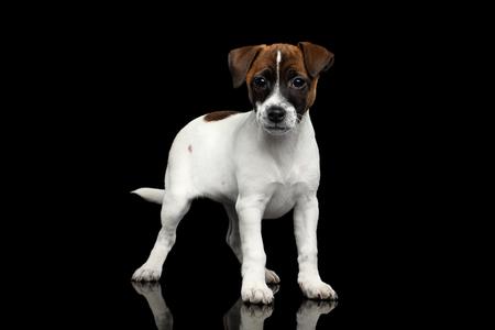 Jong Jack Russel Terrier-puppy die zich op Geïsoleerde Zwarte Achtergrond met bezinning bevinden Stockfoto