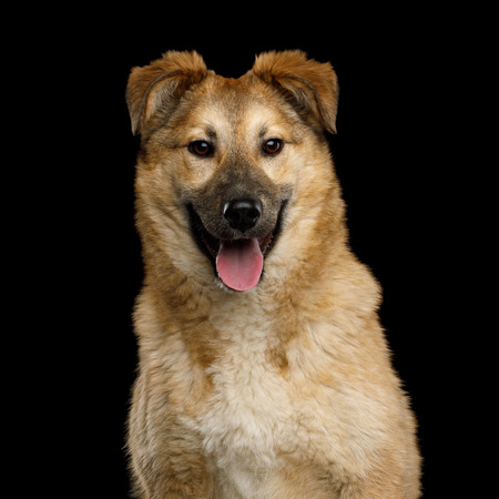 Closeup Portrait of Cute Mongrel Dog Happy Looking in Camera, Isolated on Black Background Stock Photo