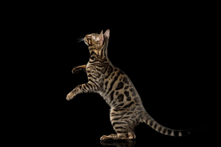 Playful Bengal Kitten Jumping on isolated on Black Background with reflection, side view