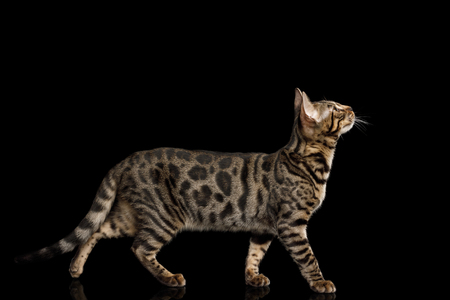 Bengal Kitten Walking on isolated on Black Background with reflection, side view