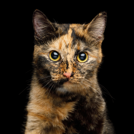 Cute Portrait of Tortoise Cat with Huge Yellow Eyes on Isolated Black Background with reflection, front view