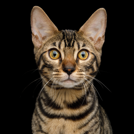 Portrait of Bengal Kitten with Cute face in front view on Isolated Black Background