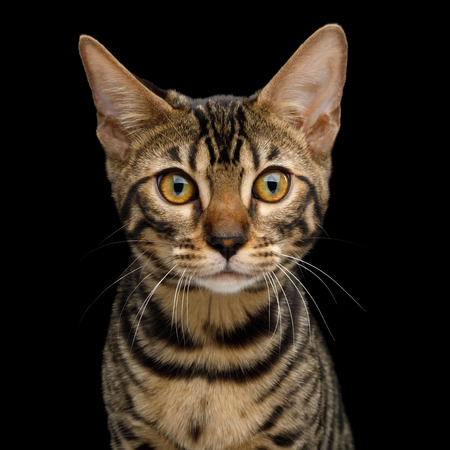 Portrait of Bengal Kitten with Curious face in front view on Isolated Black Background