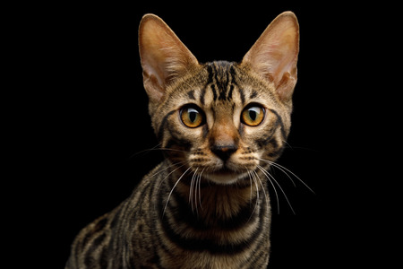 Portrait of Bengal Kitten in front view on Isolated Black Background