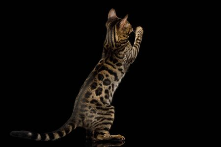 Playful Bengal Kitten Hunt on Isolated Black Background, stretched up