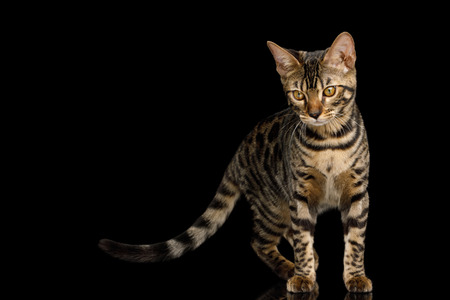 Bengal Kitten Standing and Curious Looking on Isolated Black Background with reflection, front view
