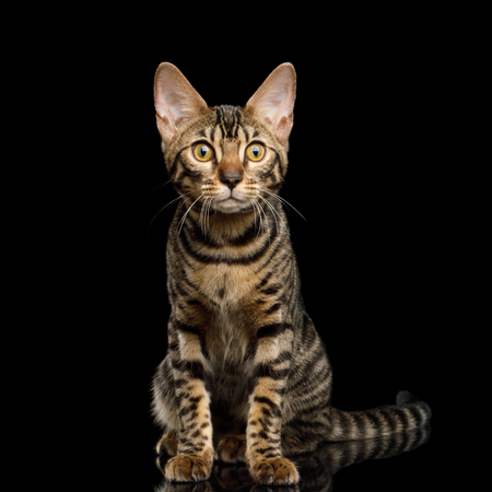 Bengal Kitten Sitting and Curious Looking on Isolated Black Background with reflection, front view Stock Photo