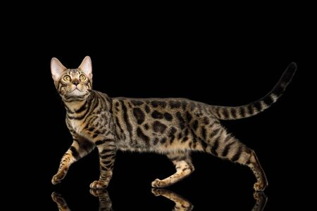 Bengal Kitten Walk on Isolated Black Background with reflection, side view
