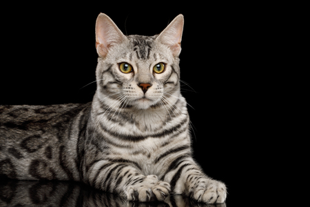 Adorable Bengal Male Cat with White Fur Lying and raising paws on Isolated Black Background, front view Stock fotó
