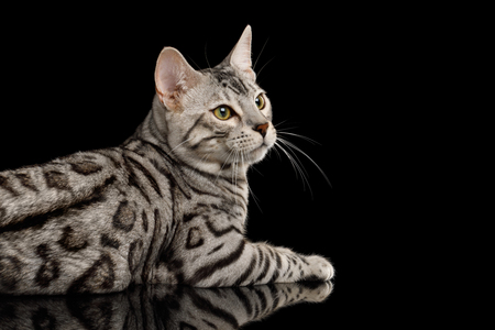 Bengal Male Cat with White Fur Lying and Looking at side on Isolated Black Background, side view Banco de Imagens