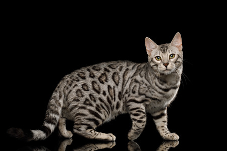 Bengal Male Cat with White Fur Standing on Isolated Black Background, side view