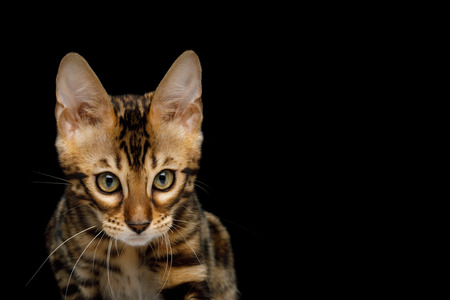 Portrait of Bengal Kitten with Angry face in front view on Isolated Black Background