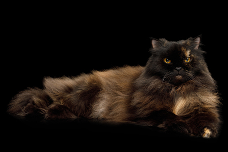 Red with Brown Angry Persian Cat Lying on Isolated Black Background