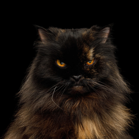 Portrait of Angry Persian Cat, Red with Brown Fur, Gazing on Isolated Black Background Foto de archivo - 97056316