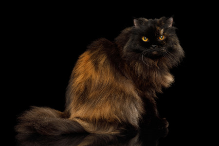 Red with Brown Angry Persian Cat Sitting on Isolated Black Background