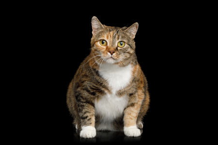 Fat Ginger Calico Cat Sitting and Looks Curiously on Isolated Black Background, front view Stock Photo