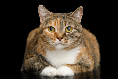 Fat Ginger Calico Cat Lying and Looks Cute on Isolated Black Background, front view