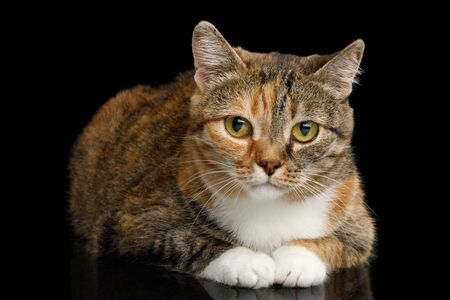 Fat Ginger Calico Cat Lying and Looks Shy on Isolated Black Background, front view