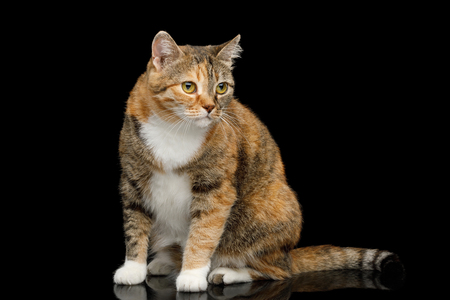 Fat Ginger Calico Cat Sitting on Isolated Black Background, side view