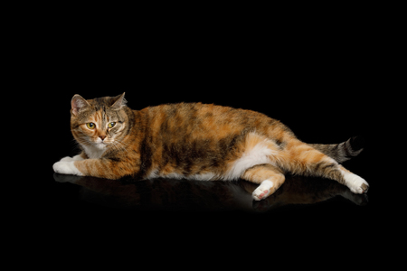 Fat Ginger Calico Cat Lying on Isolated Black Background, side view Stock Photo
