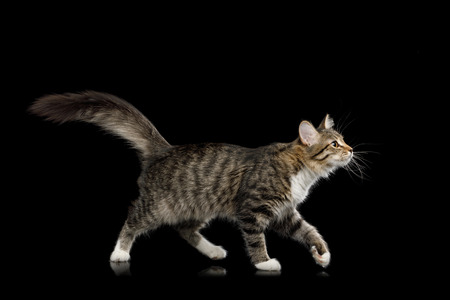 Tabby Kitten Walking with Interest looking up on Isolated Black Background, side view 写真素材