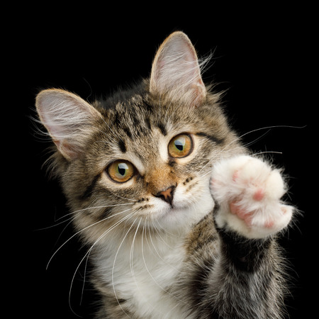 Portrait of Cute Kitten with white breast, Looks Curious and Raising paw on Isolated Black Background, front view
