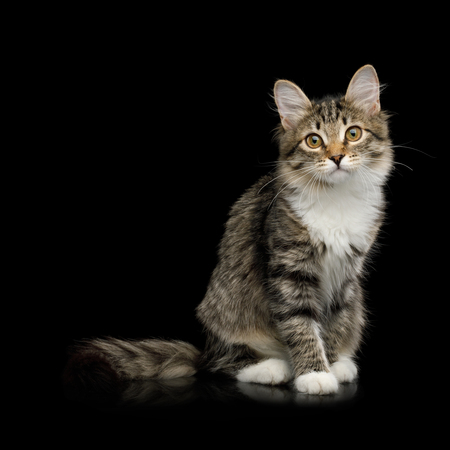 Tabby Kitten Sitting with Interest looking in Camera on Isolated Black Background, side view Foto de archivo - 97488233
