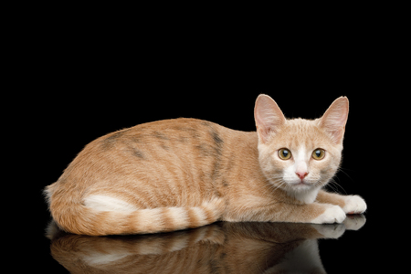 Red Kitten Lying and crouched, Stare in Camera on Isolated Black Background with reflection Banque d'images - 97521620