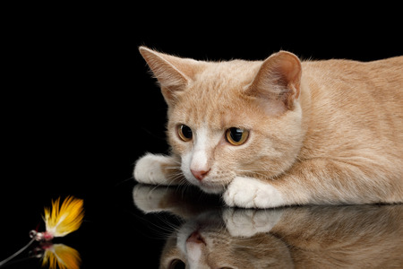 Red Kitten Lying and Playing with toy on Isolated Black Background with reflection