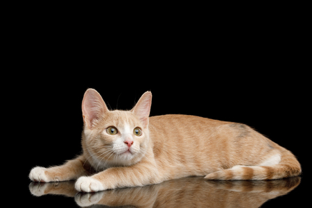 Red Kitten Lying and crouched, Stare up on Isolated Black Background with reflection Banque d'images - 97521621