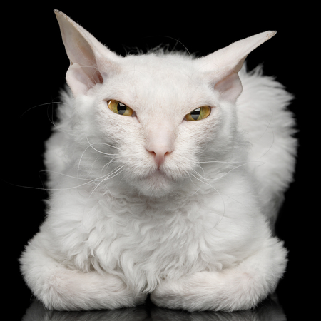 Close-up Narrow-eyed Sphynx Cat with White fur Lying and Sly Looking in camera Isolated on Black Background 写真素材