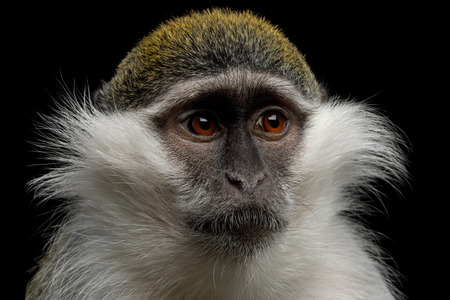 Close-up Portrait of Green Monkey Isolated on Black Background