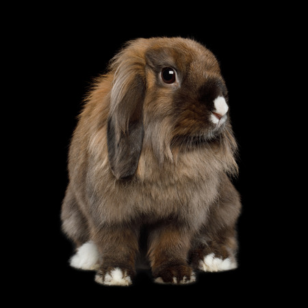 Close-up Brown Rabbit with white nose on Isolated Black Background Stock Photo - 97521624