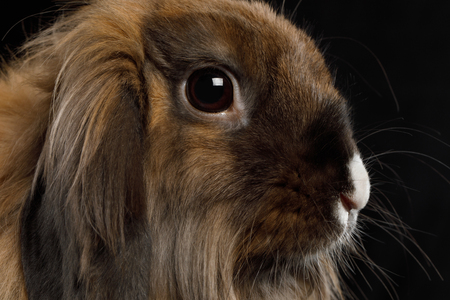 Close-up Brown Rabbit with white nose on Isolated Black Background