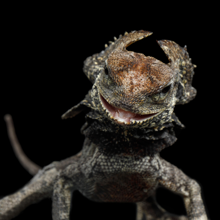 Close-up Frill-necked lizard attack, also known as the frilled lizard, Chlamydosaurus kingii, on isolated Black Background, profiel view Stock Photo