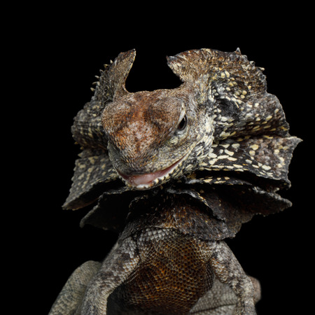 Close-up Frill-necked lizard attack, also known as the frilled lizard, Chlamydosaurus kingii, on isolated Black Background, profiel view Stock fotó