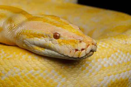 Close-up Head of Albino Python, Yellow skin Reklamní fotografie