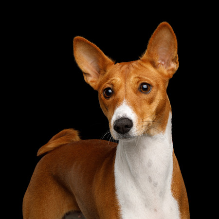 Humanity Portrait White with Red Basenji Dog Stare on Isolated Black Background, Font view Stock Photo