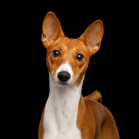 Close-up Humanity Portrait White with Red Basenji Dog Stare on Isolated Black Background, Font view Stock Photo