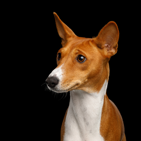 Humanity Portrait White with Red Basenji Dog Stare on Isolated Black Background, Font view Reklamní fotografie