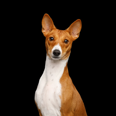Close-up Humanity Portrait White with Red Basenji Dog Stare on Isolated Black Background, Font view 스톡 콘텐츠