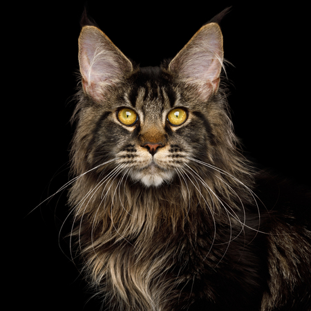 Portrait of Maine Coon Cat with brushes on ears, Isolated Black Background Imagens