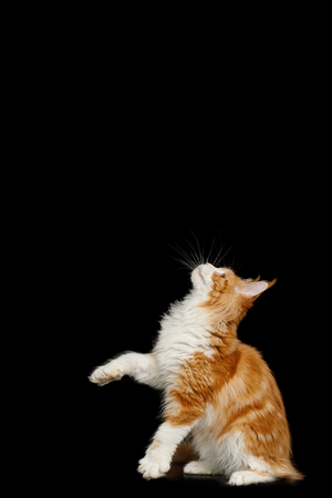Playful Ginger Maine Coon Cat, Standing and Looking up Isolated Black Background, side view