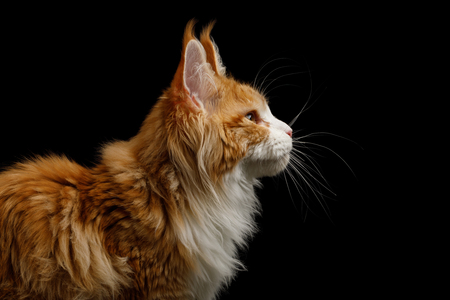 Portrait of Ginger Maine Coon Cat, Isolated Black Background, profile view